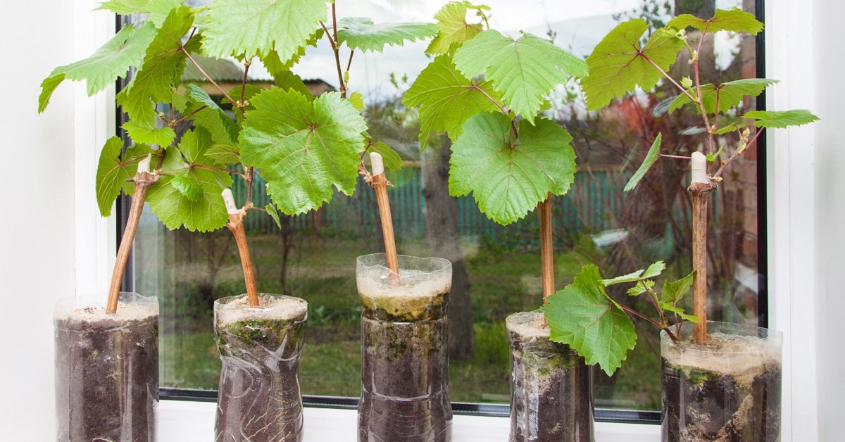 Земля для рассады винограда