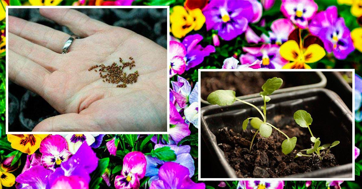 Посадка семян виолы на рассаду: когда сажать фиалки, как посадить правильно и как выращивать анютины глазки в домашних условиях?