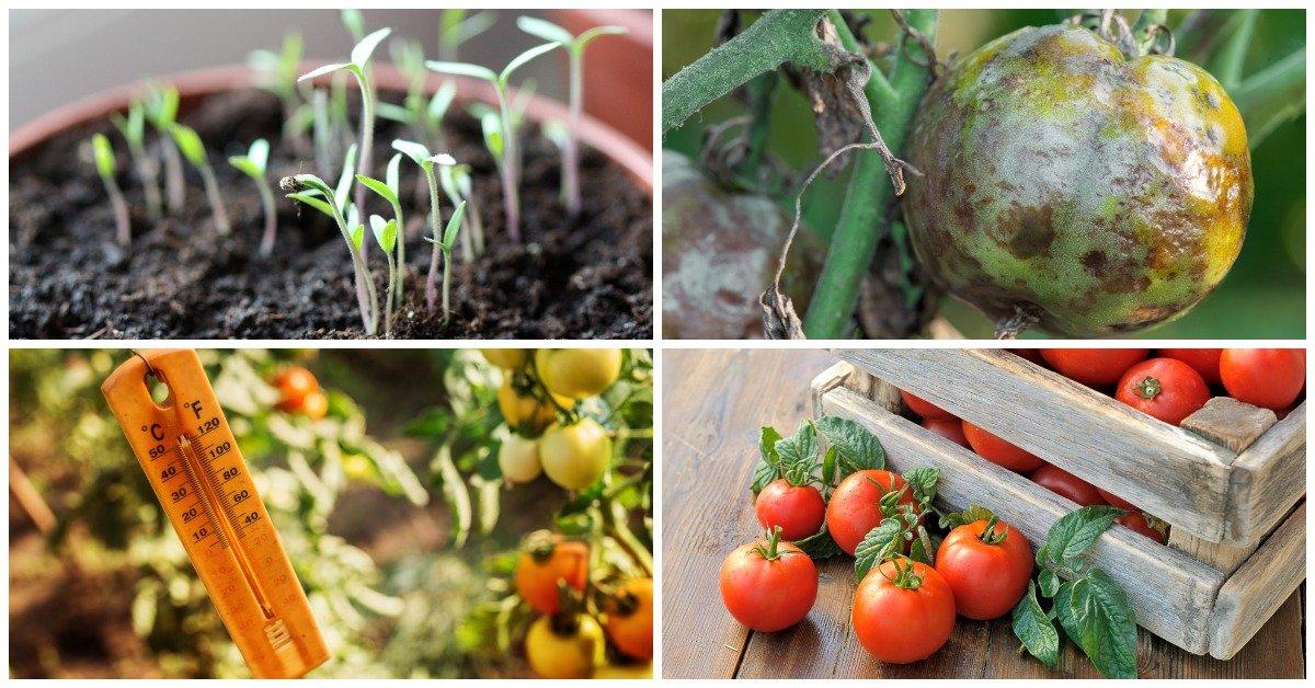 Секреты огородников! Как вырастить сладкие и вкусные томаты