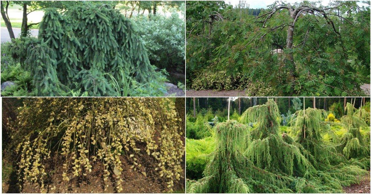 Рекомендации по выращиванию ивы извилистой