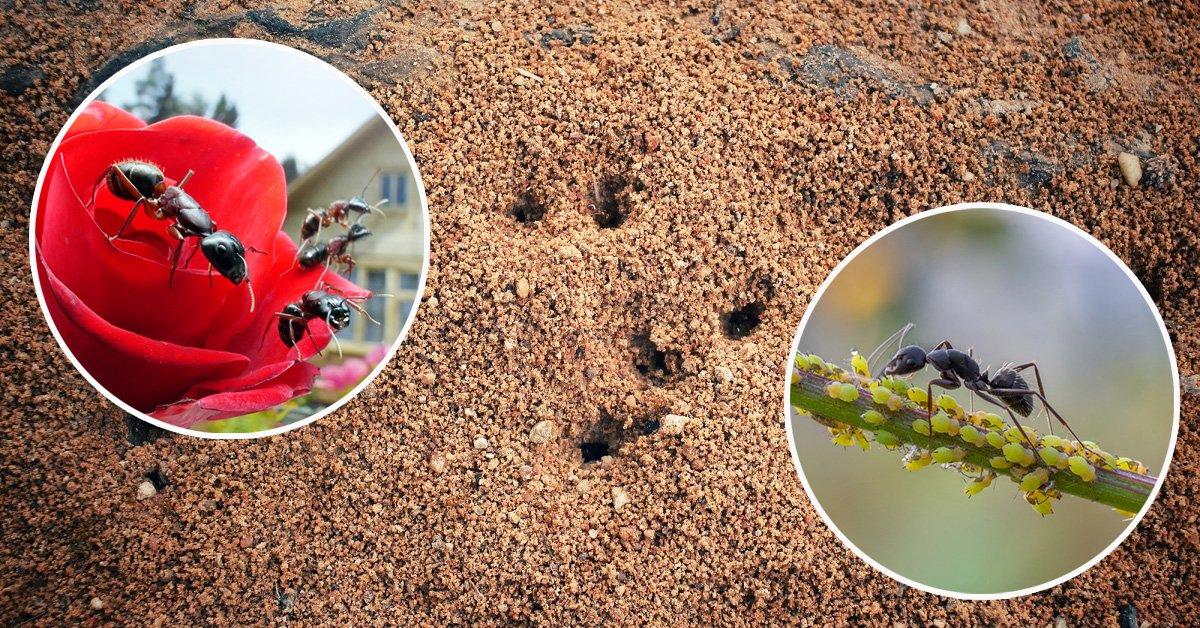 Уничтожение муравьев с гарантией - Обработка от муравьев в Москве по требованиям СанПиН, по низкой цене. Первая служба дезинфекции
