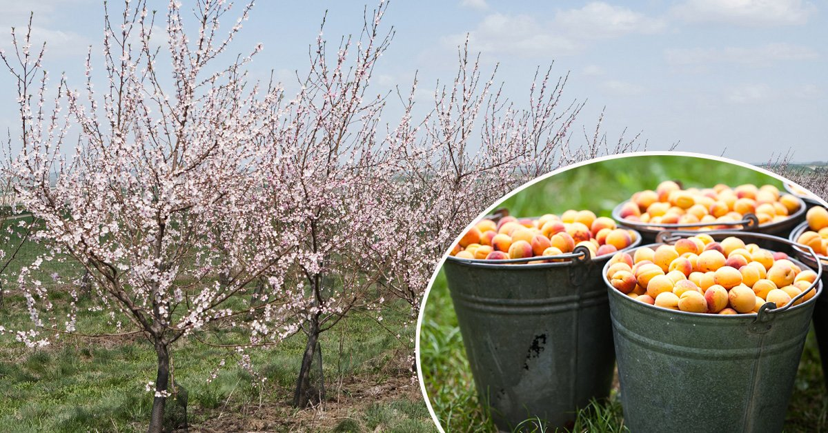 Как правильно сажать вишню и абрикос