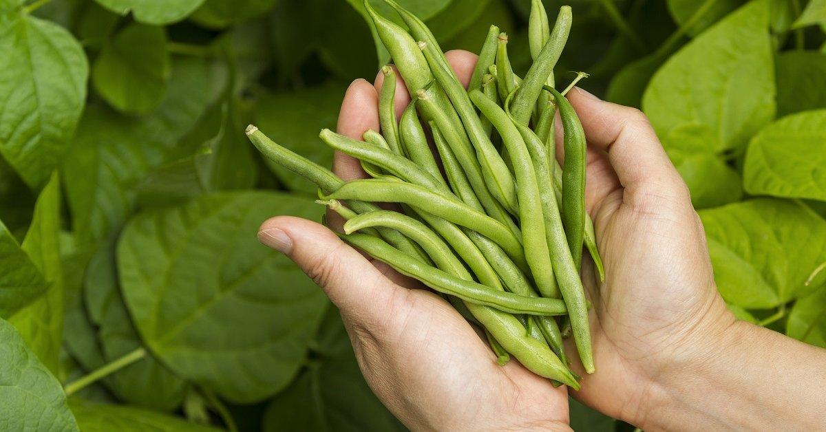 Как выбрать и вырастить фасоль – все о сортах и агротехнике