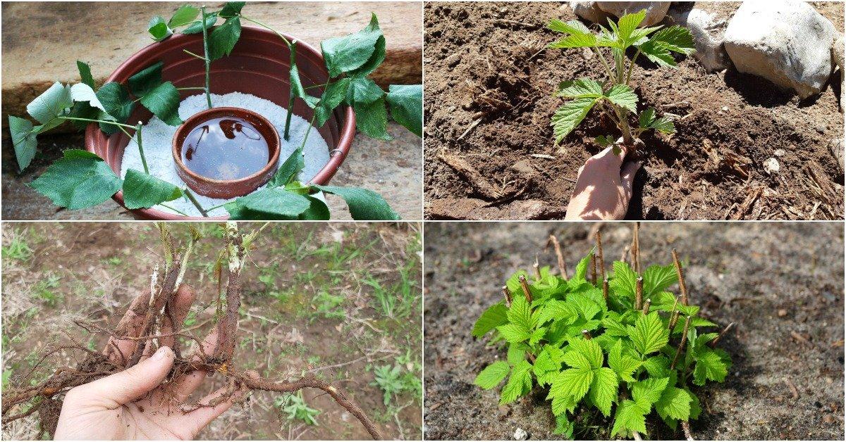 Способы размножения малины и ежемалины черенками осенью