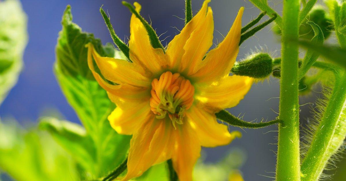 Помидоры цветут а завязи нет что делать