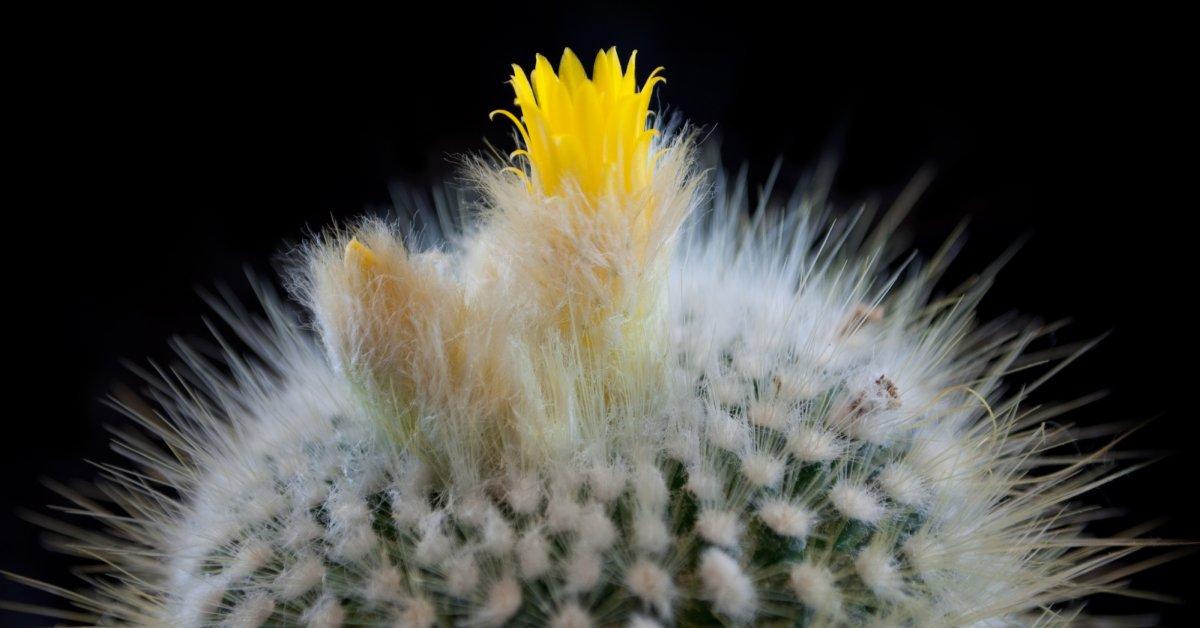 Цветение домашнего кактуса