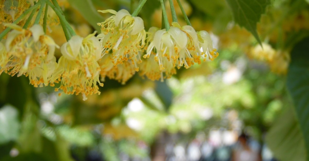 Как использовать цветки липы – польза и противопоказания