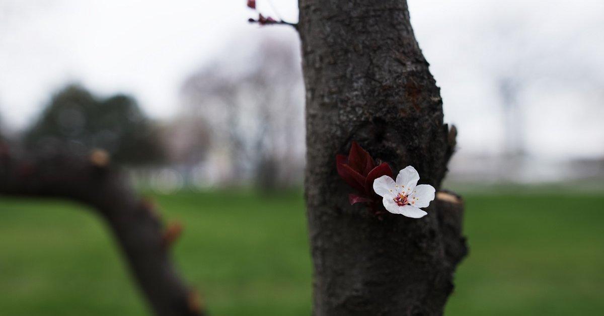 Как ограничить рост вишни