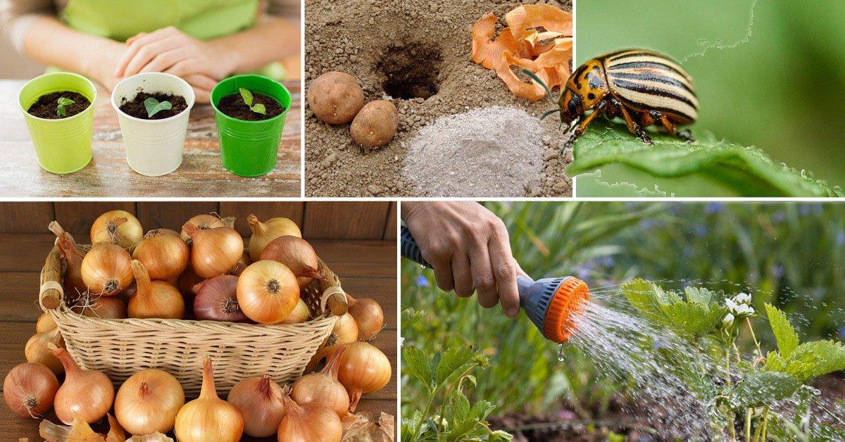 Как применить луковую шелуху на огороде