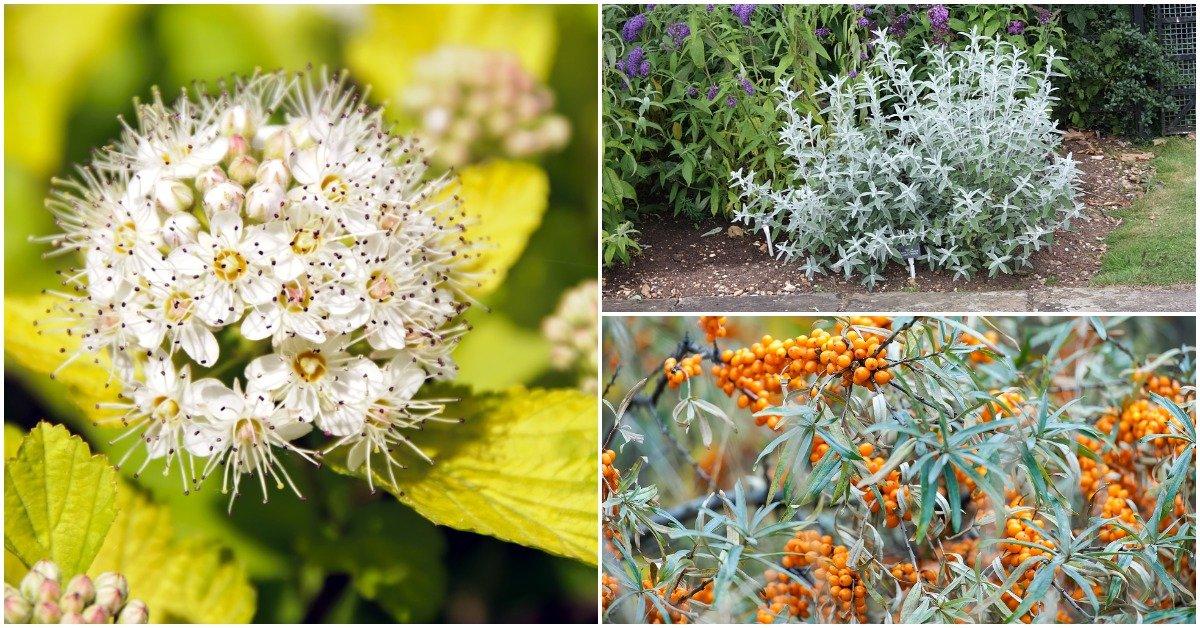 Растения серебристого цвета для сада