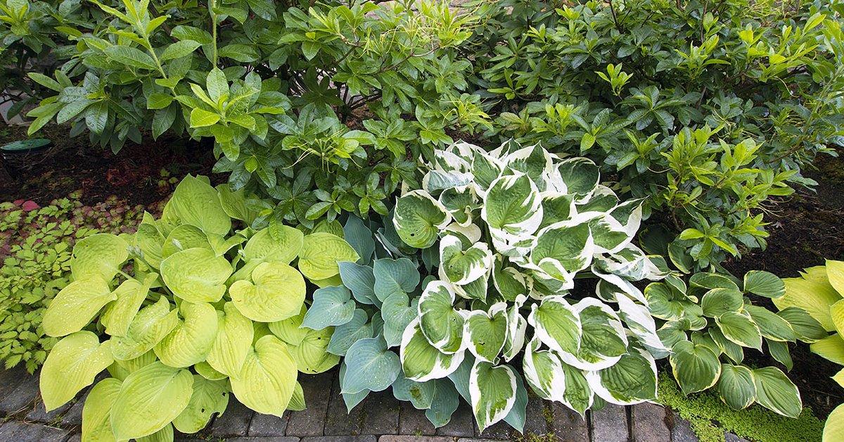 Хоста 64 фото что это такое Оформление участка цветами Какую почву любят уличные растения в саду Хоста ланцетолистная и другие самые красивые виды