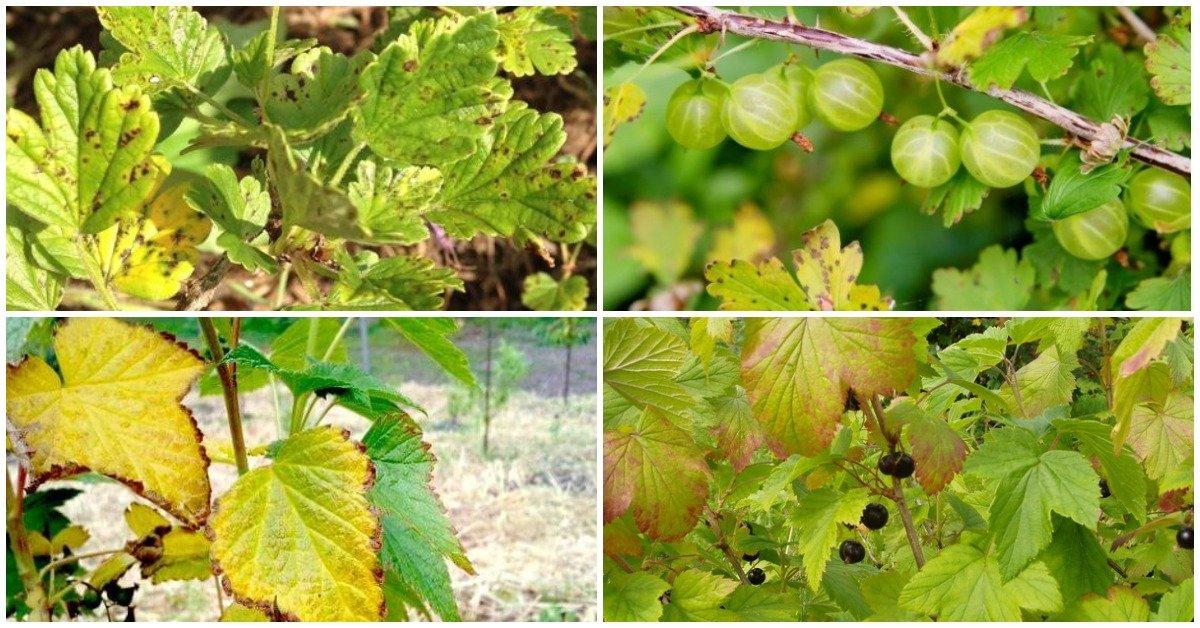 Почему желтеют листья смородины основные причины