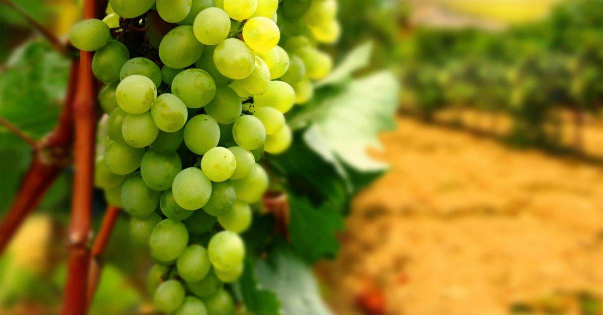 Виноград без ухода