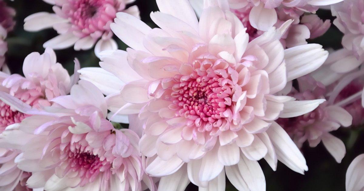 Как посадить многолетние хризантемы в открытый грунт и ухаживать за ними
