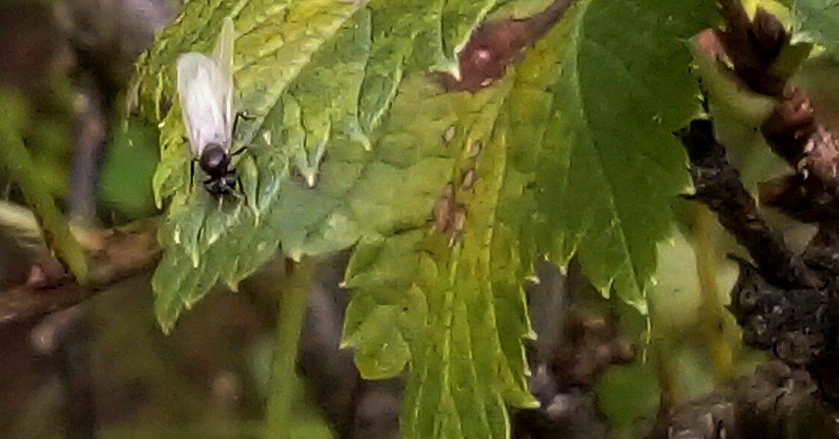 Когда у муравьев появляются крылья
