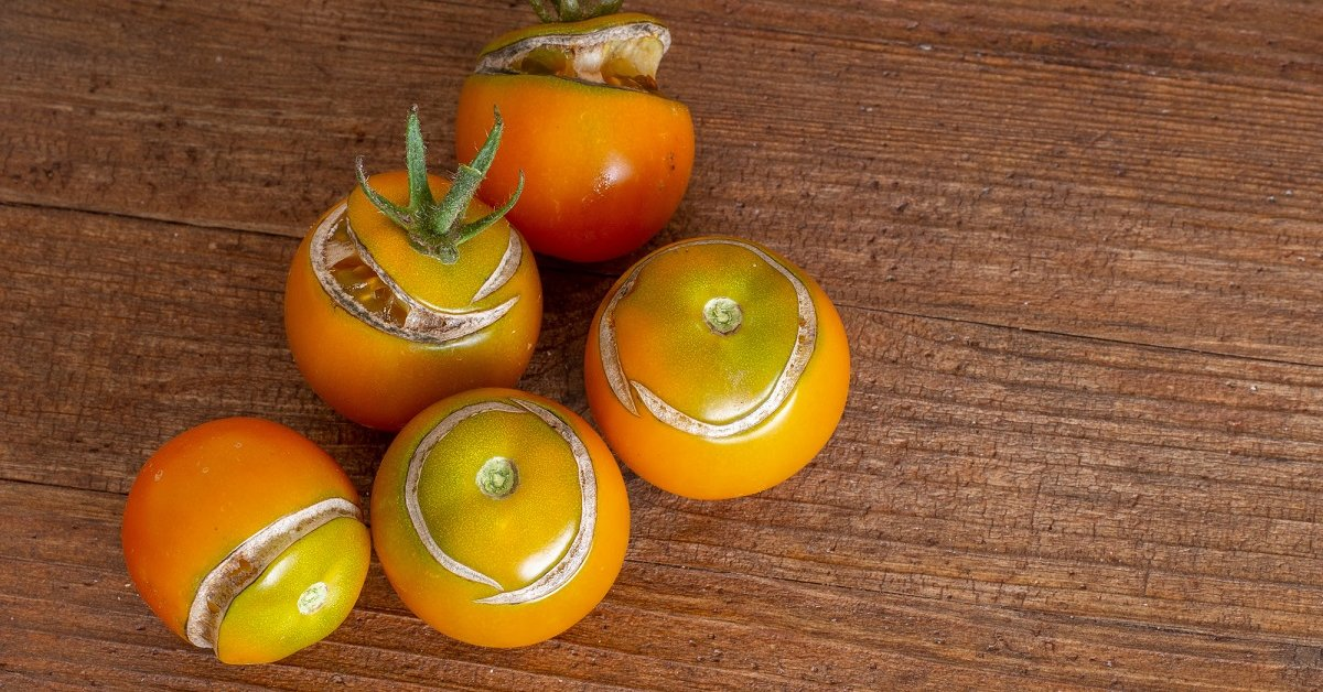 Почему помидоры лопаются красные на кусту
