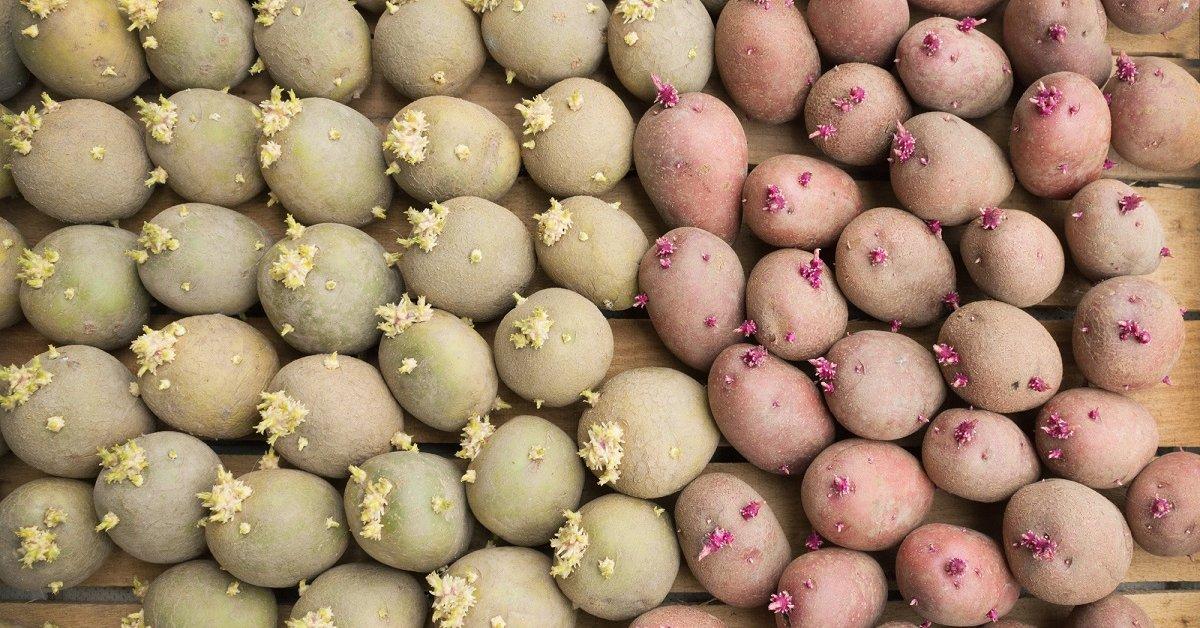 Почему нельзя есть позеленевшую картошку