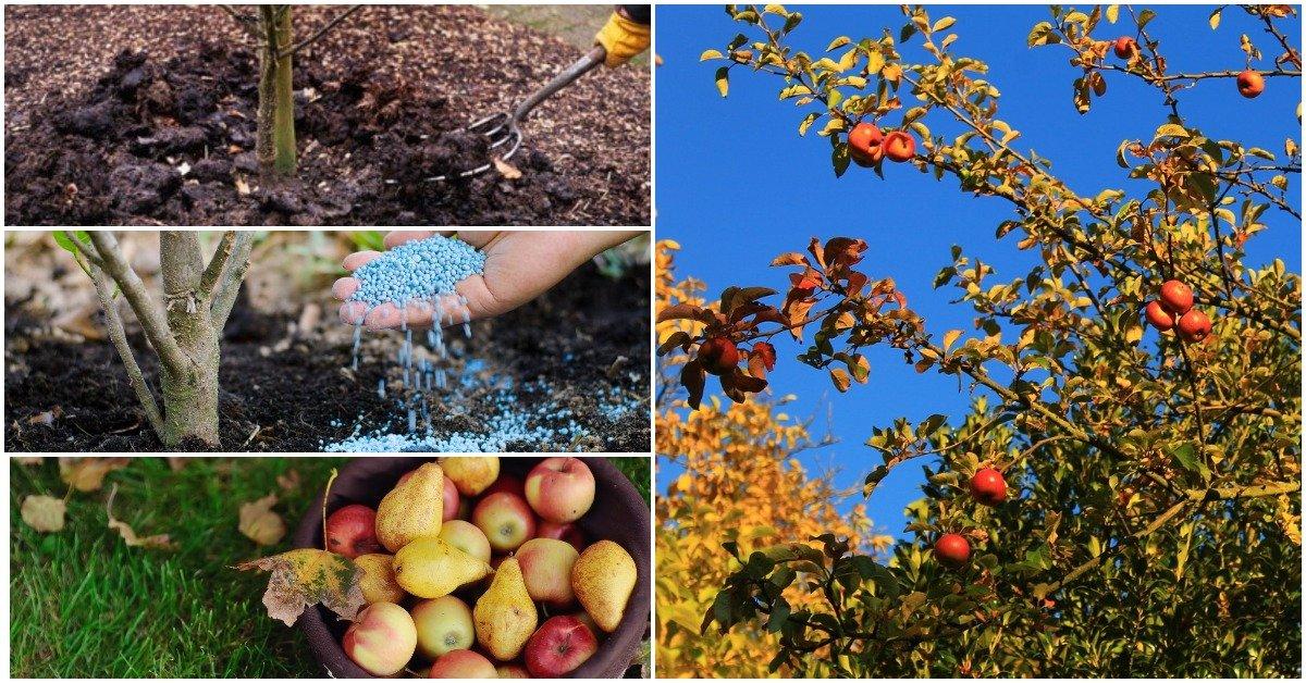 Осеннее удобрение для груши