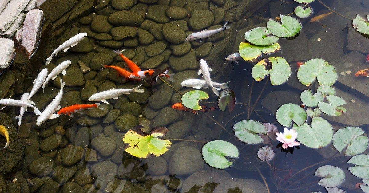 Разведение рыбы в небольшом пруду