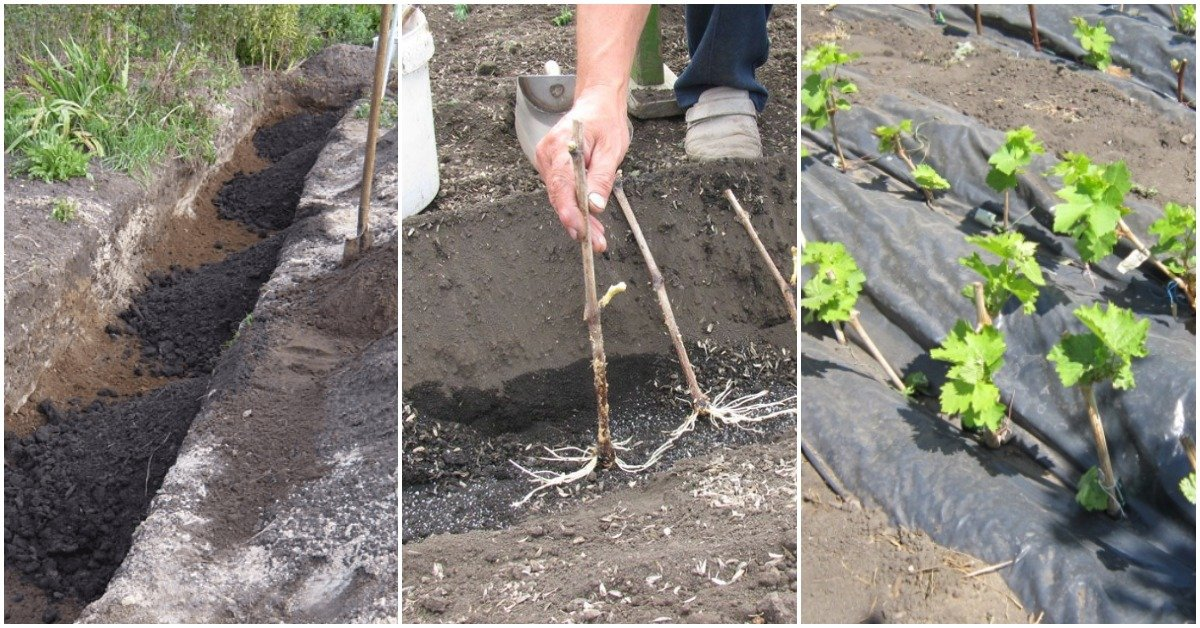 Подзимняя посадка — закаленные черенки: что нужно знать о посадке винограда осенью саженцами
