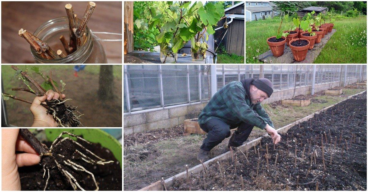 Как заготовить чубуки винограда осенью
