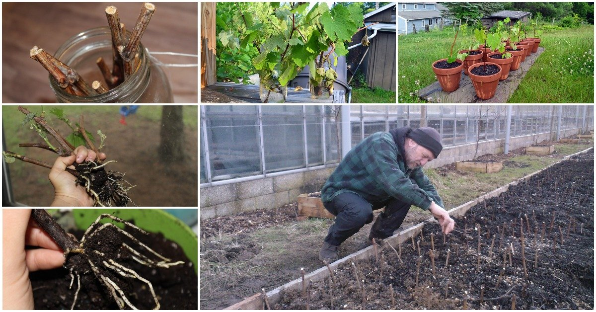 Черенкование винограда на зиму