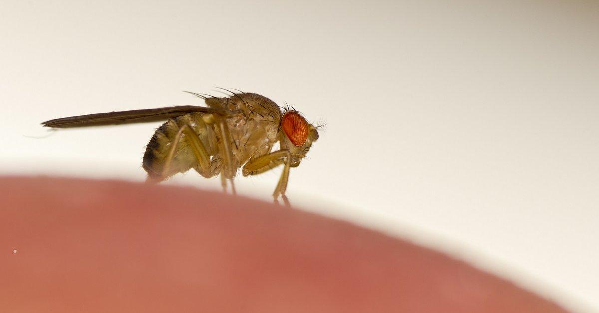 Как избавиться от плодовых мушек дома