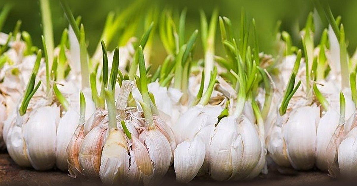 Сибирский способ посадки чеснока – урожай гарантирован