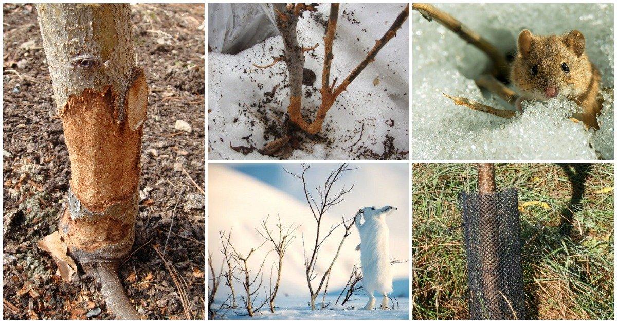 Нужно ли укрывать молодые плодовые деревья на зиму и как это правильно делать