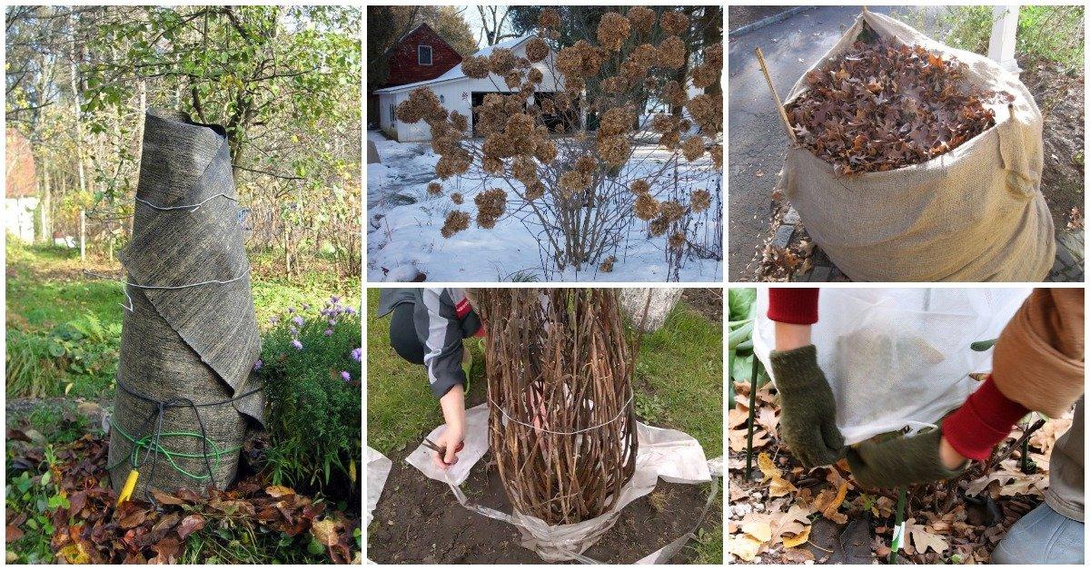 Как правильно укрыть гортензию крупнолистную на зиму