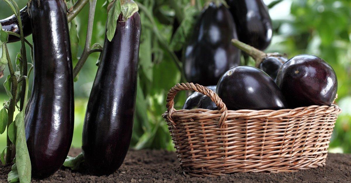 Баклажаны семена для теплицы