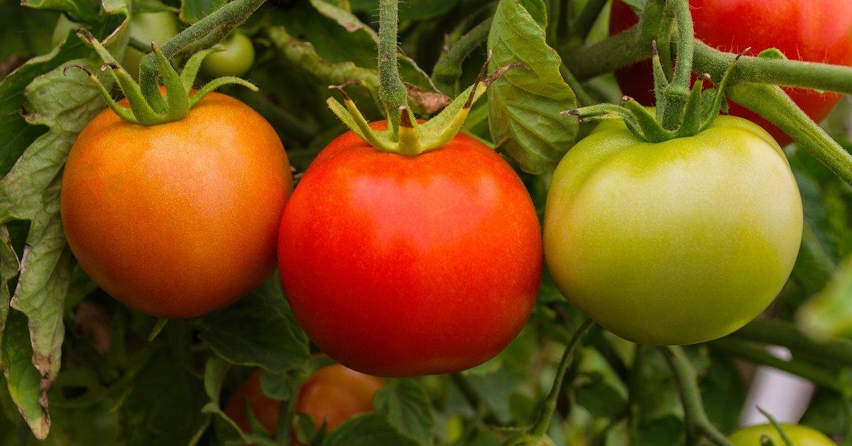 Низкорослые томаты для парников