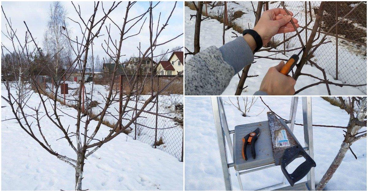 Подрезка яблонь зимой