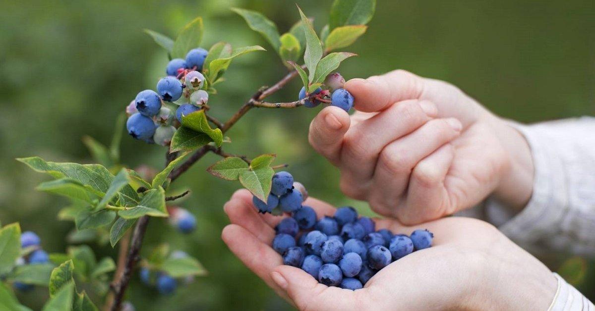 Когда начинает плодоносить голубика садовая, сколько раз за сезон и на какой год после посадки