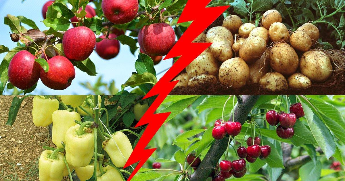 Расстояние между яблоней и вишней при посадке