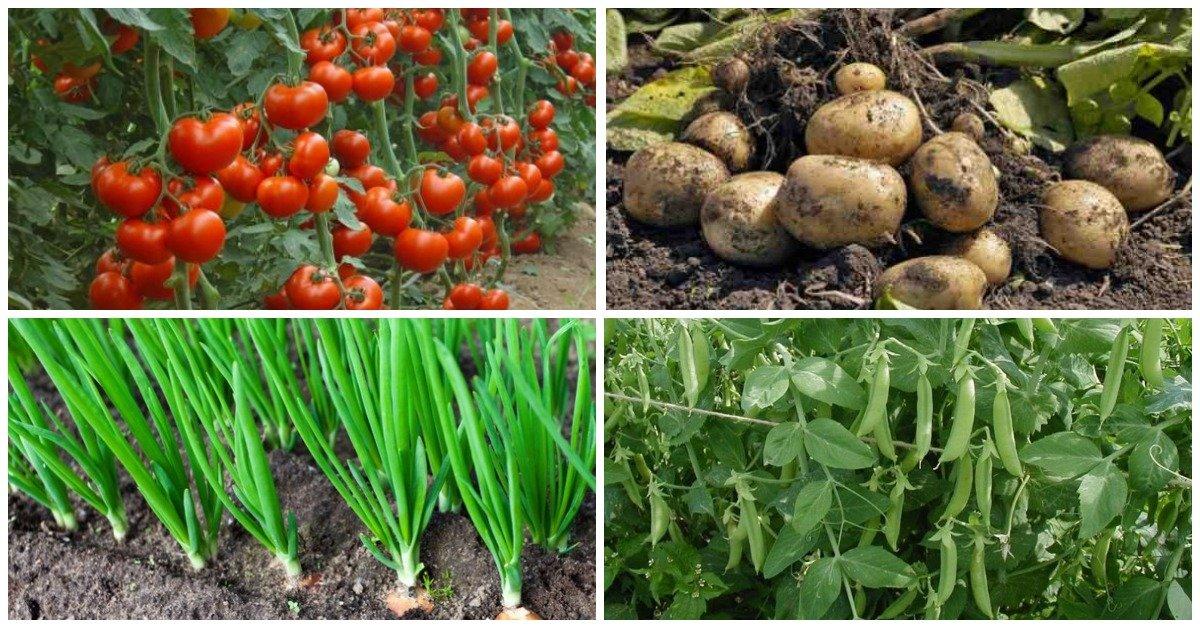 7 пар растений, которые нельзя выращивать рядом   На грядке (Огород.ru)