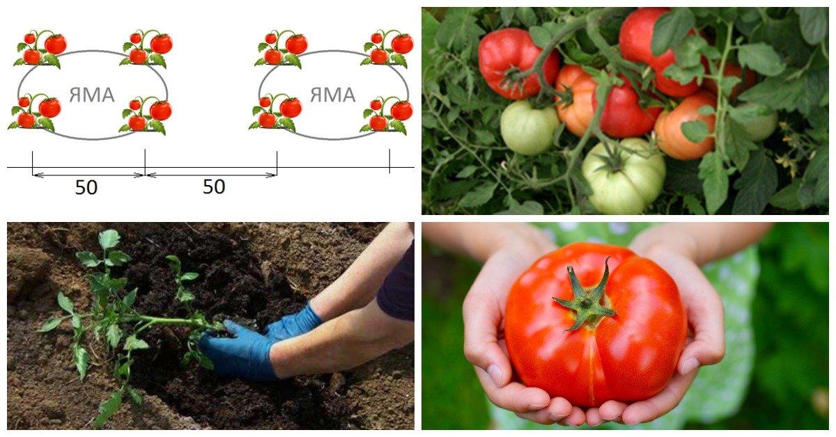 Как вырастить помидоры на улице