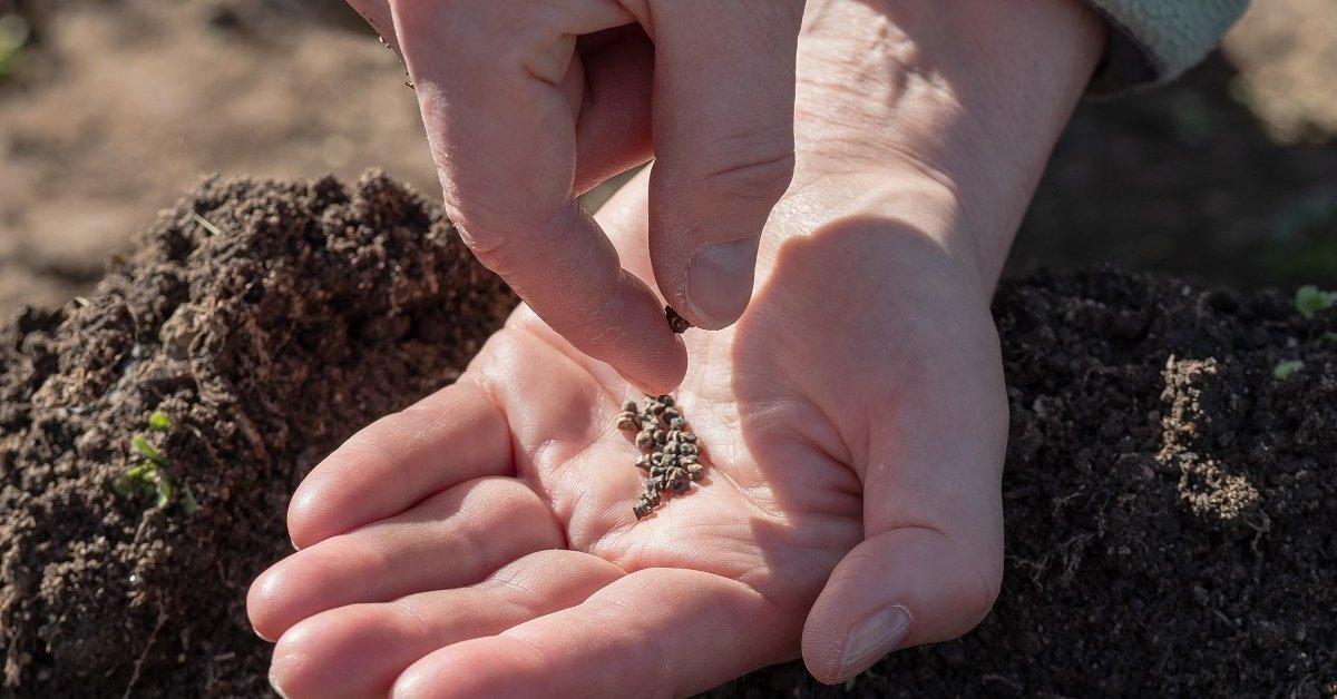 Тонкости выращивания свеклы в огороде в открытом грунте