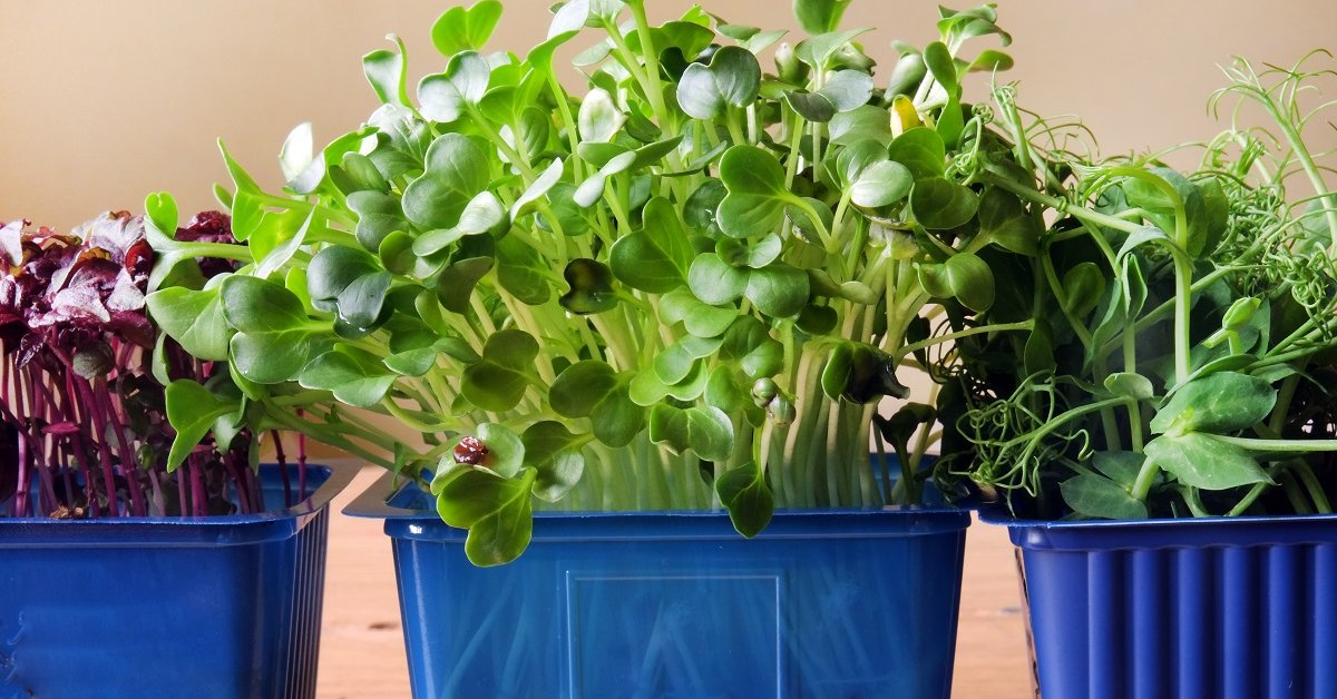 брокколи фото на грядке как выращивать