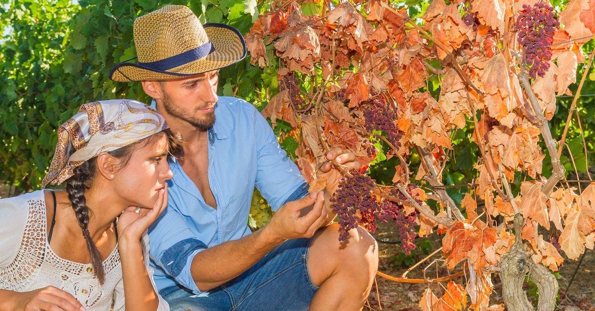 Вянут листья винограда причины