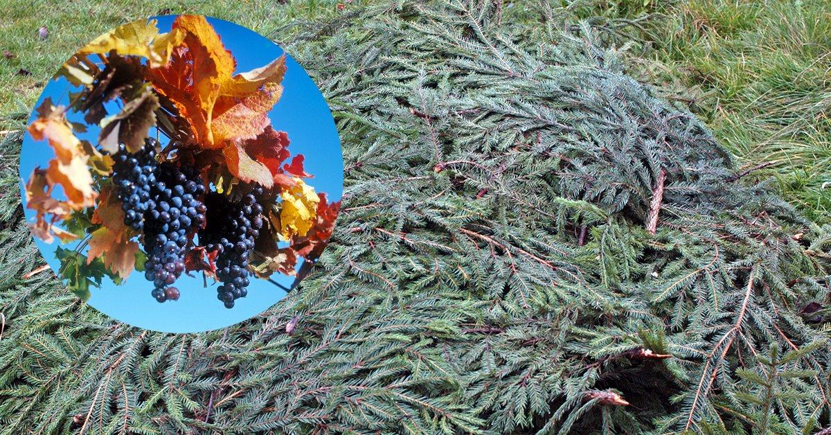 Как правильно обрезать на зиму виноград и как укрывать: фото, видео, советы