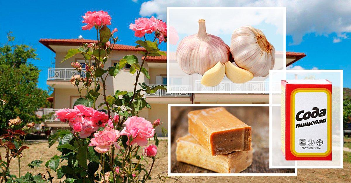 В помощь цветоводу: календарь подкормок и обработок роз на весь сезон