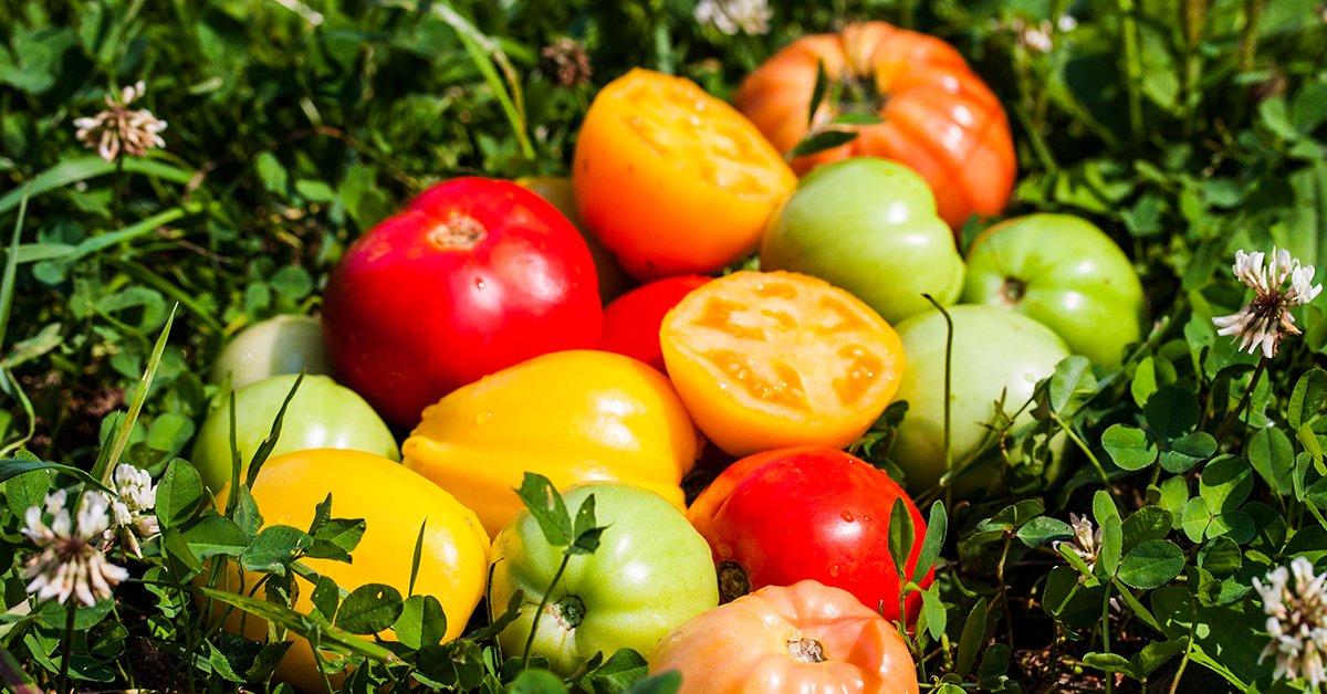 Томат Премиум F1: отзывы об урожайности, фото помидоров, характеристика и описание сорта