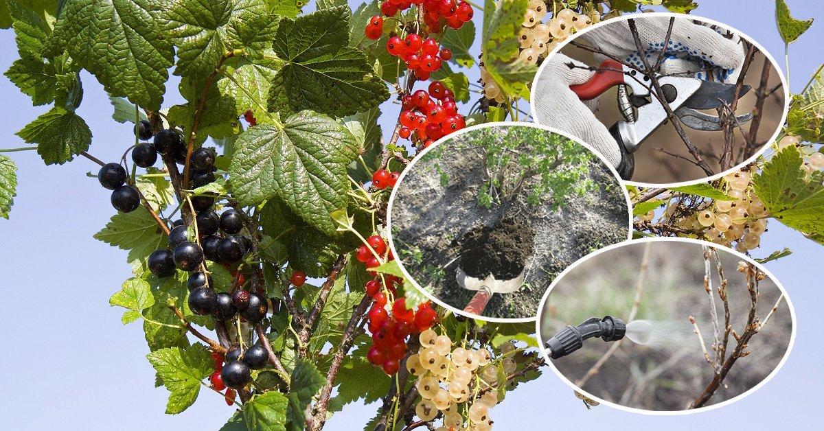 Как обработать кусты смородины осенью от вредителей