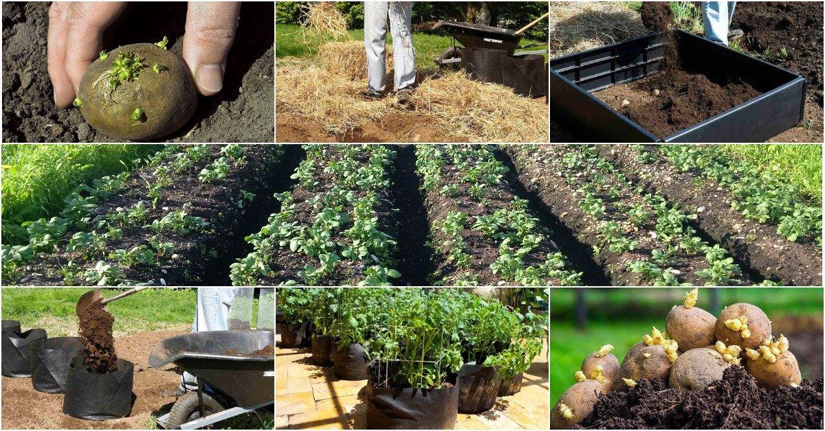 Как посадить картофель, чтобы урожай был хороший