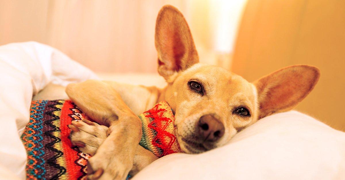 Низкая глюкоза в крови у собаки