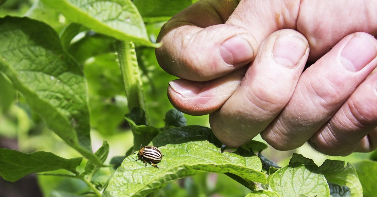 Нашатырный спирт от колорадского жука на картошке