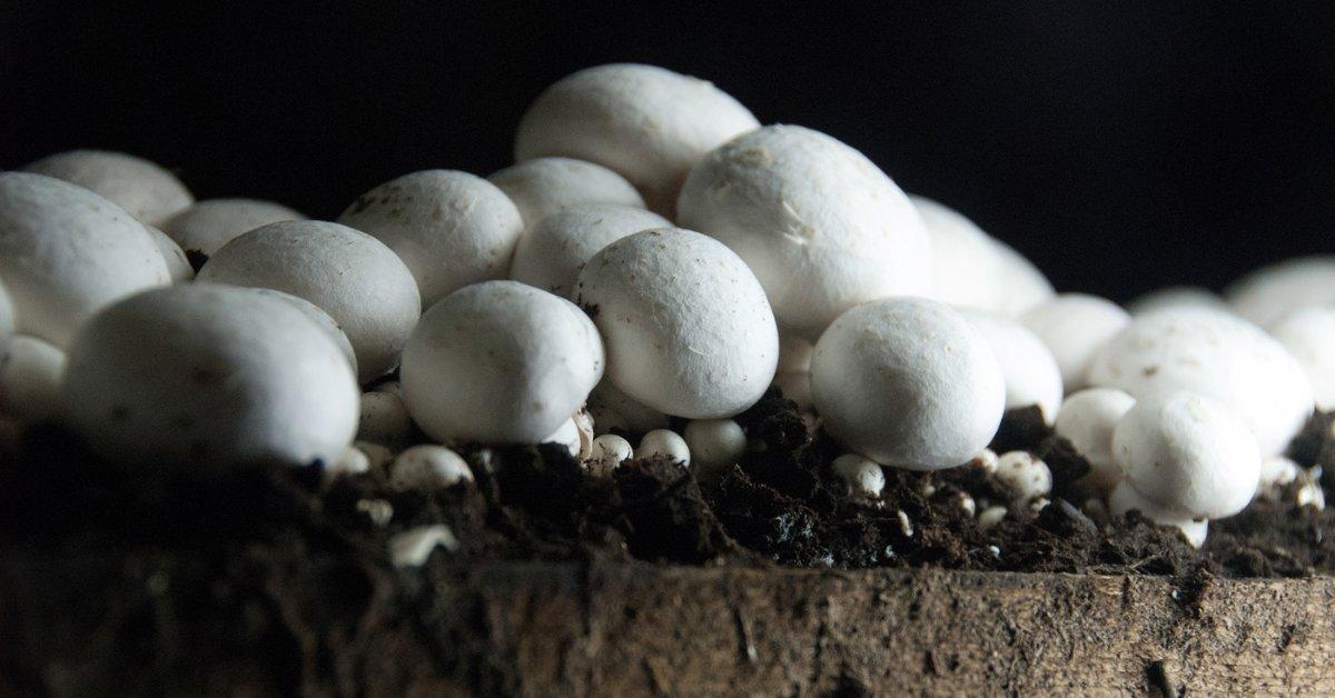 Как посадить шампиньоны на даче