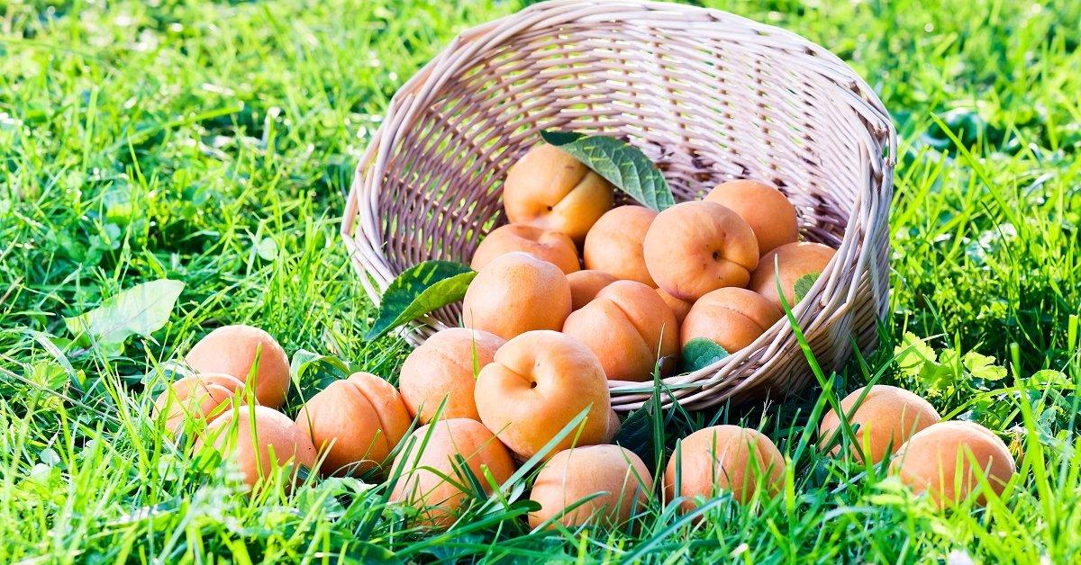 Виды и сорта абрикосов общий список