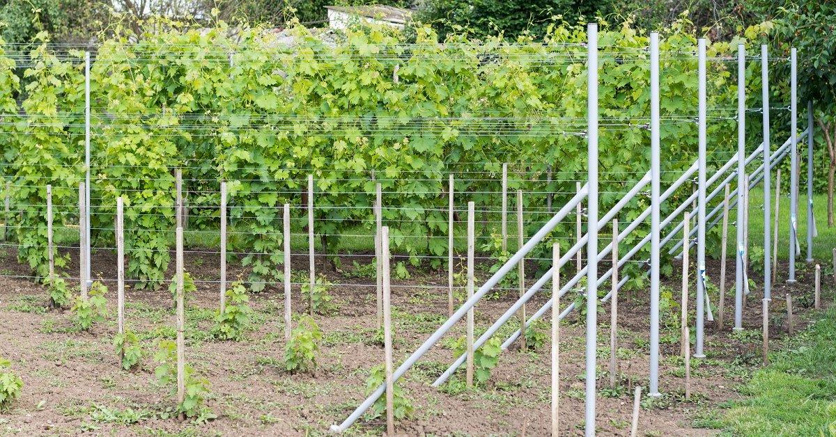 Как вырастить виноград на даче: что нужно знать о нем, описание сорта, отзывы